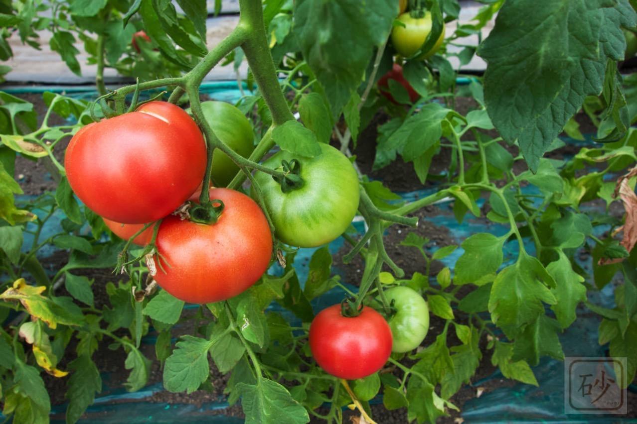 トマトもぎとり園