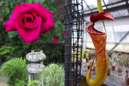 バラを観るため北大植物園へ行きウツボカズラに夢中になる